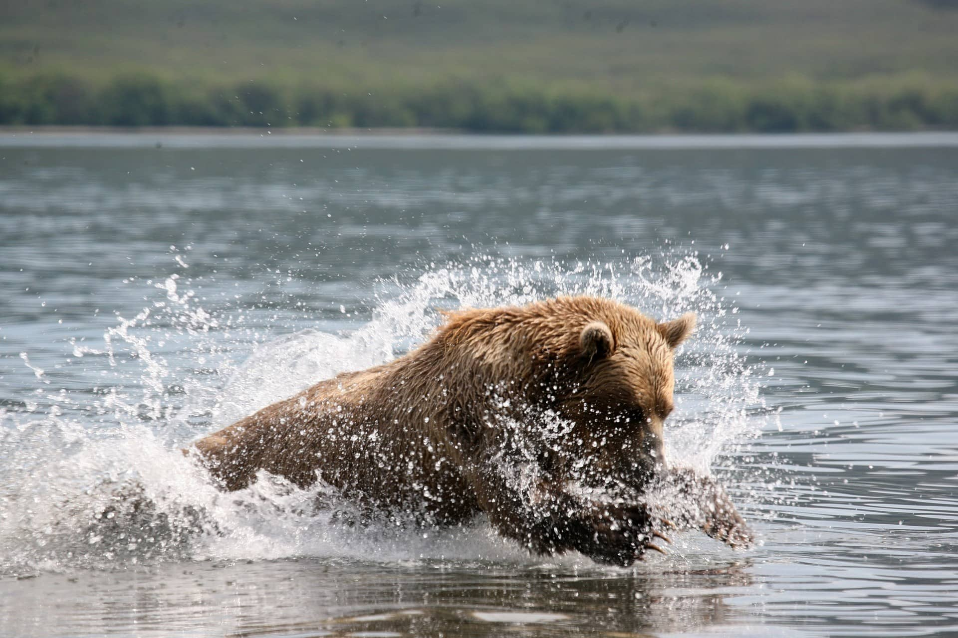 A Brown bear in the water