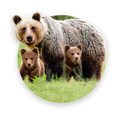 A brown bear with bear's cubs