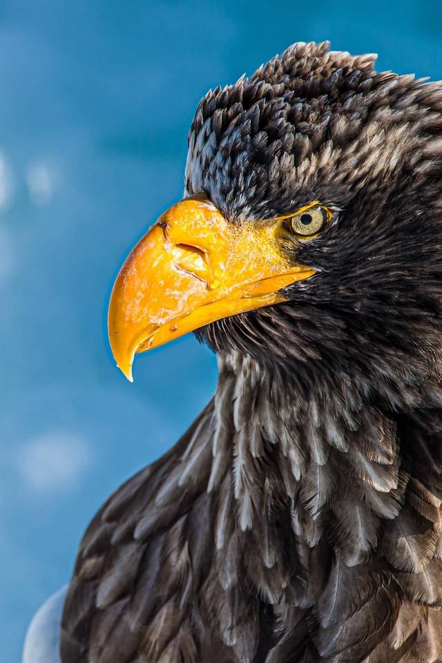 A face of a sea eagle with a yellow nib