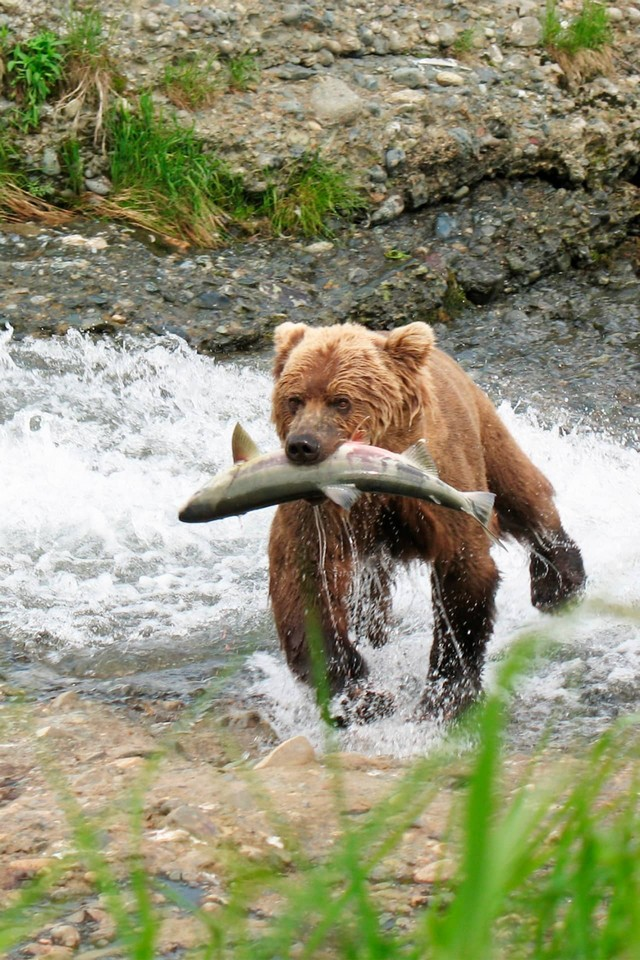 A brown bear with a fish on the river