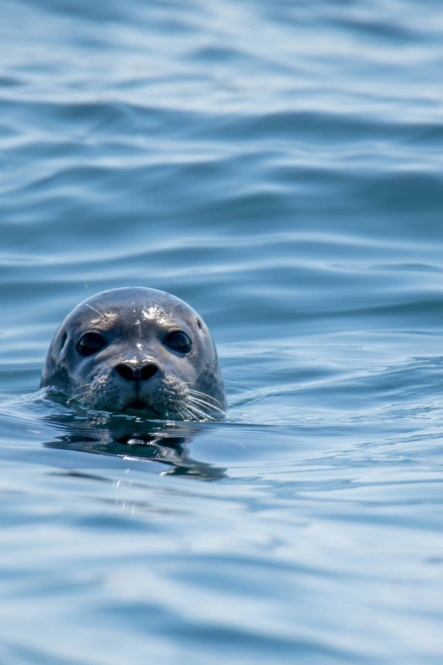 A head of a seal in the water