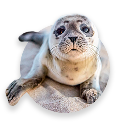 A very cute seal watching the camera