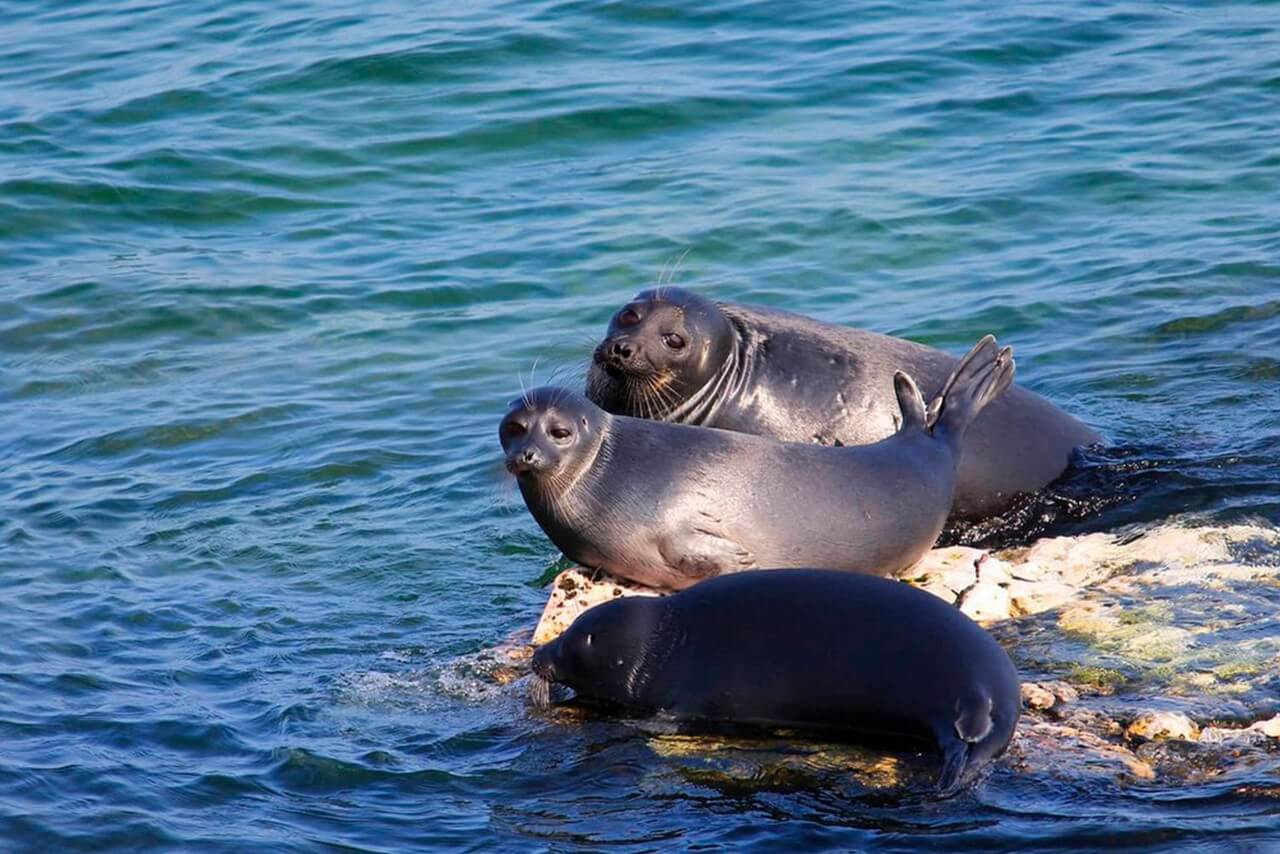 A group of cute seals in the lake