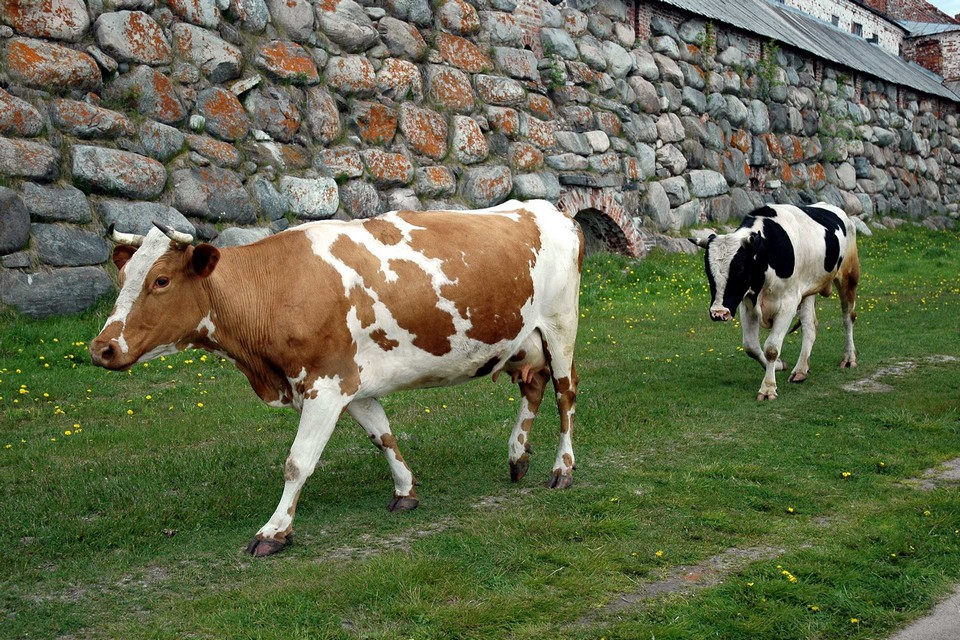 Cows walking along a fortress wall made of stones