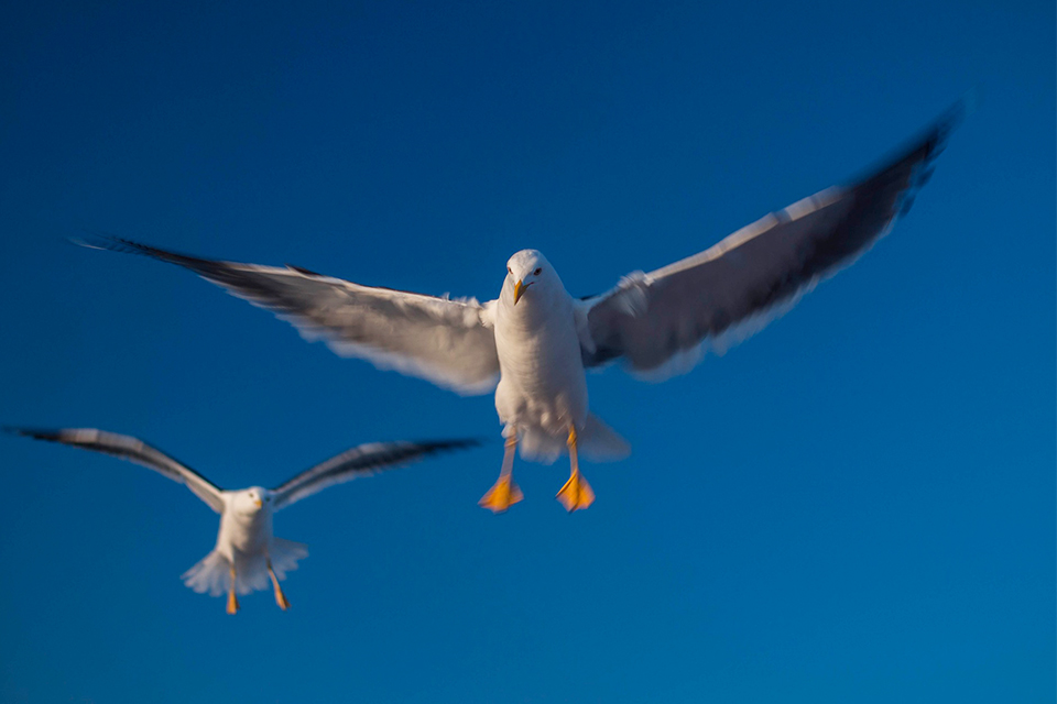 Two flying seagulls in blue sky
