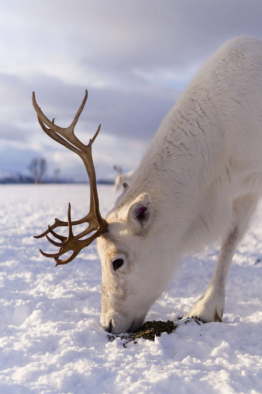 A White reindeer in winter, eating the moss