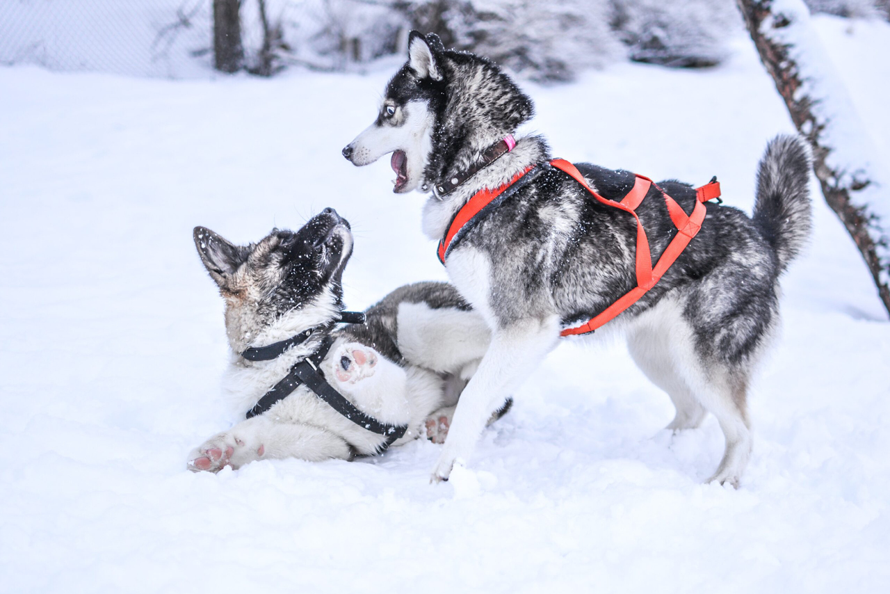 Two husky dogs playing on the snow in winter