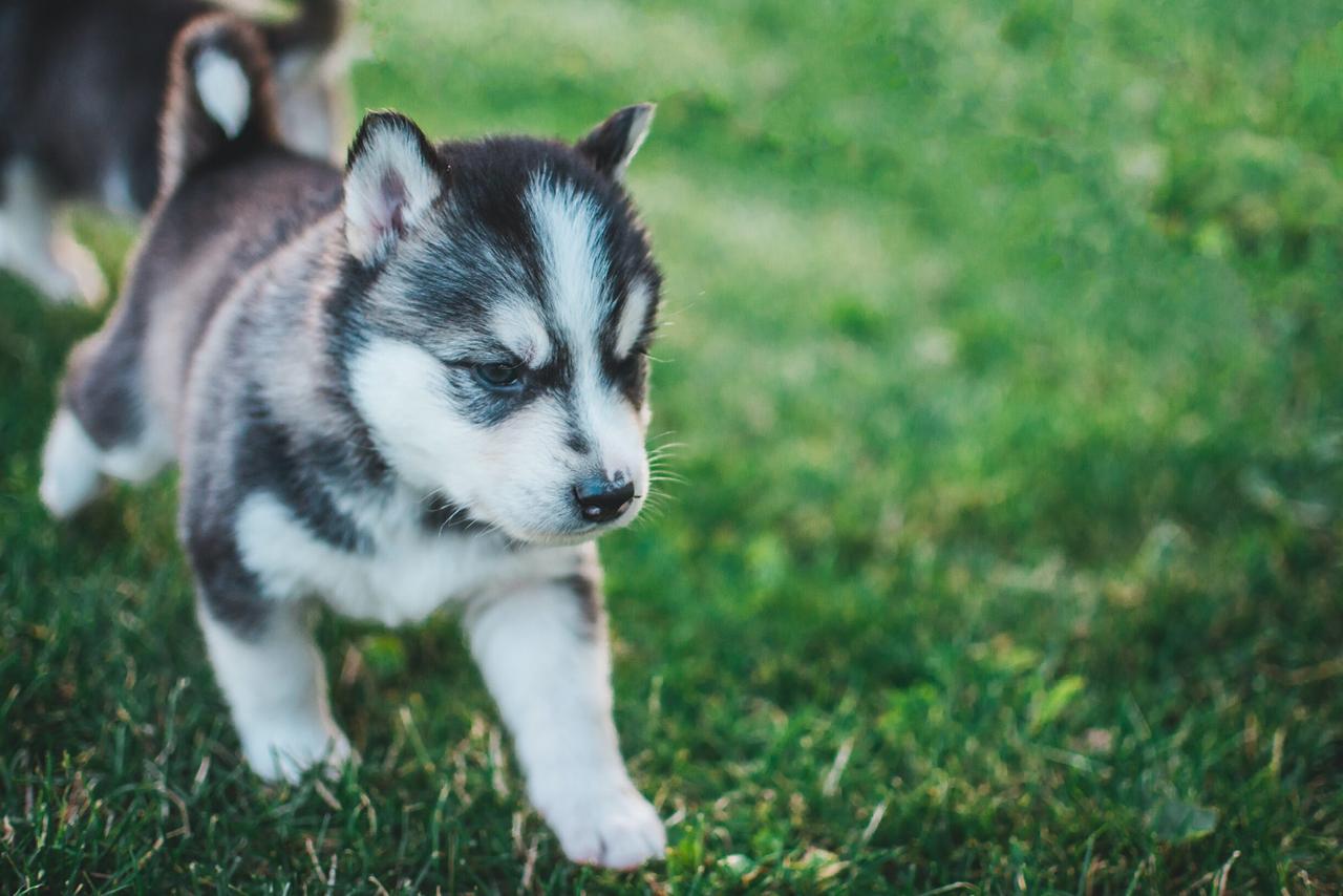Husky puppy Husky puppy walking on the green grass