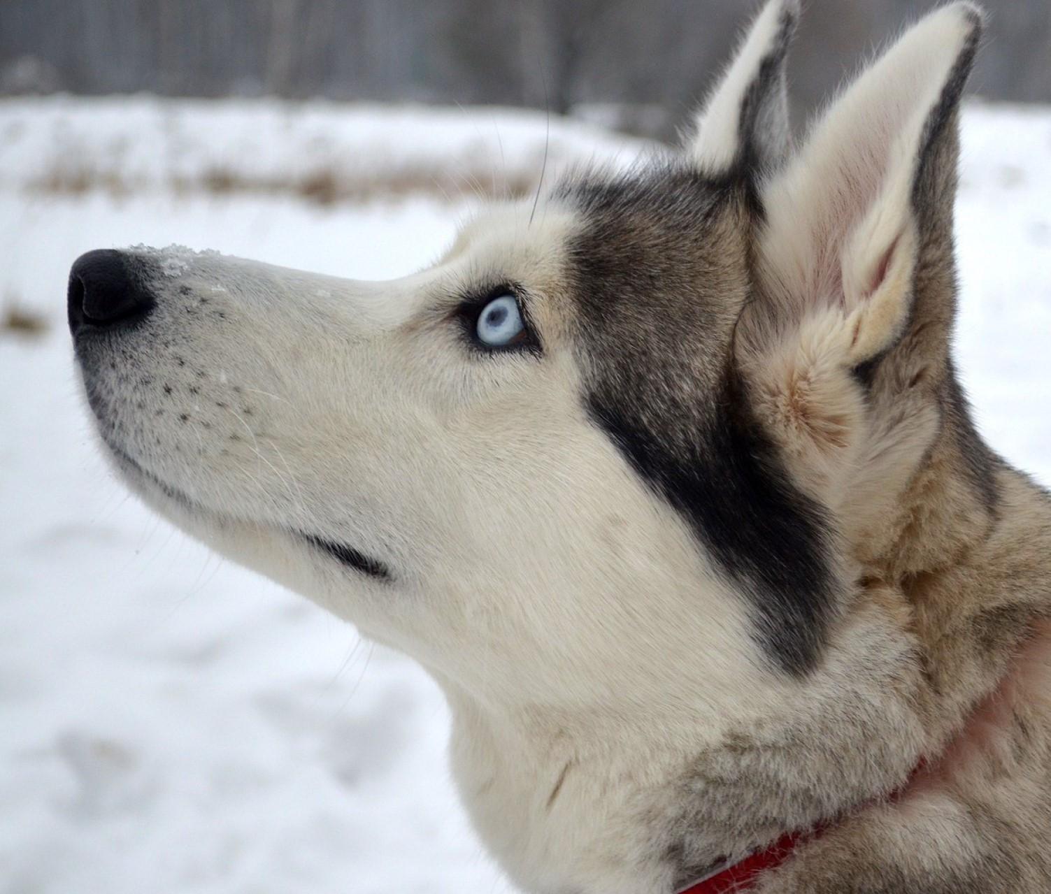 A husky dog with sky-blue eyes in winter