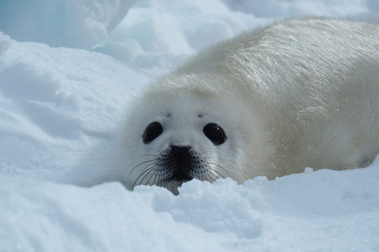 A young white seal in snow, cute seal
