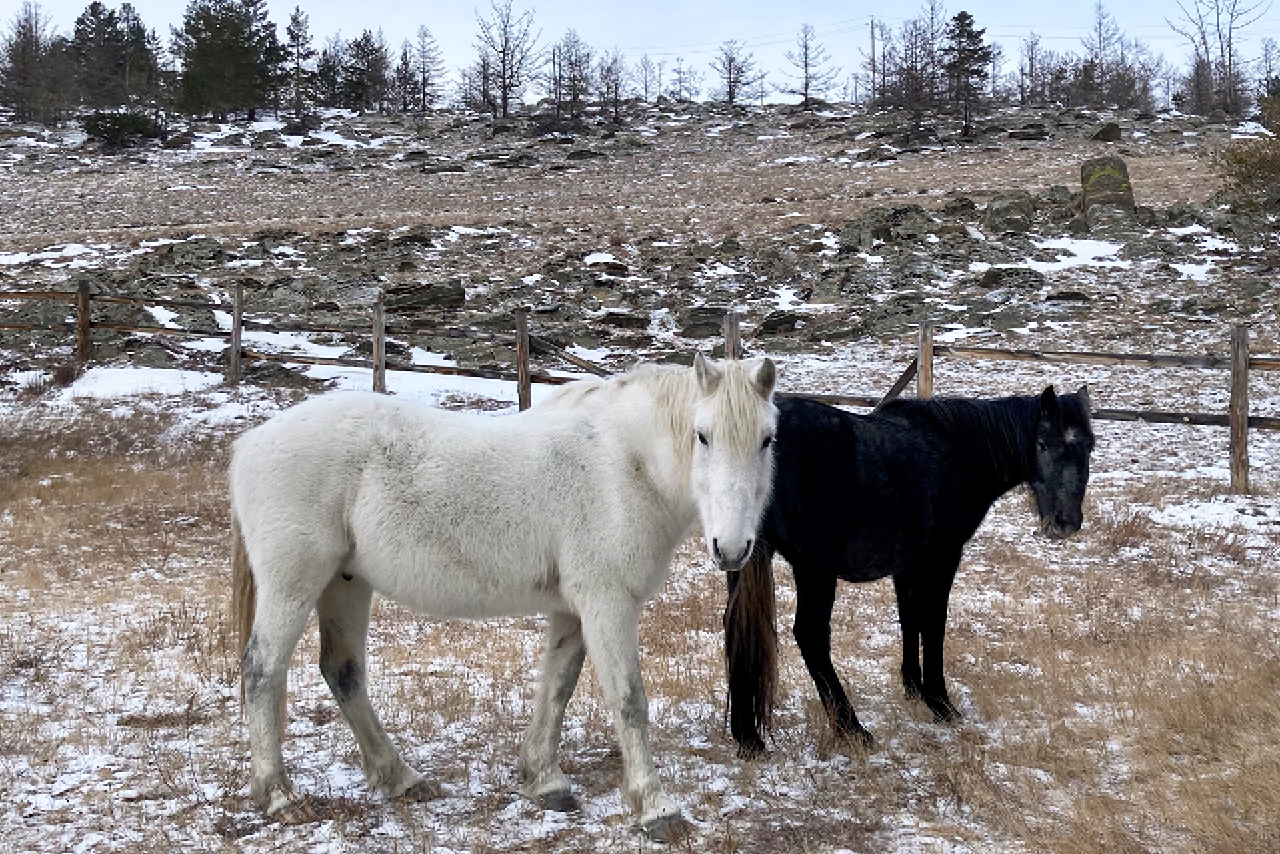 A black and a white small horses in winter